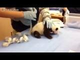 А вы слышали, как кричит панда?